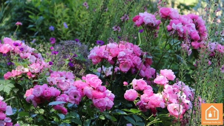 Nourir les rosiers