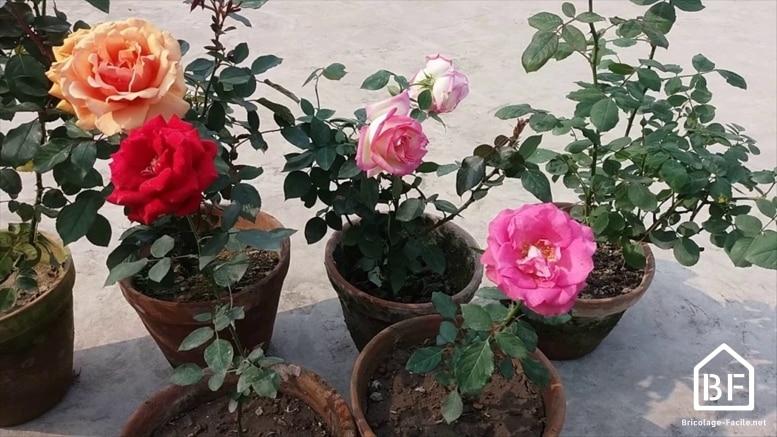 Plantation d'un rosier
