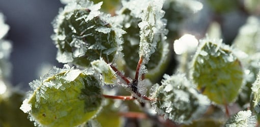 plantes gelees