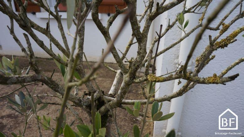 Comment tailler un olivier : tout savoir pour bien faire ...